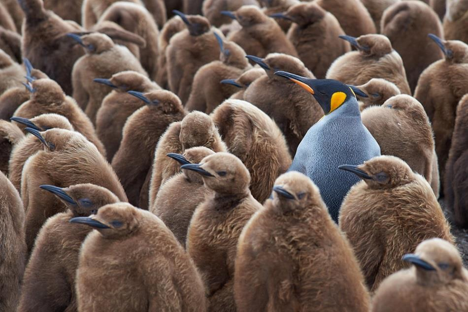 Group of penguins with one individual who stands out from the crowd