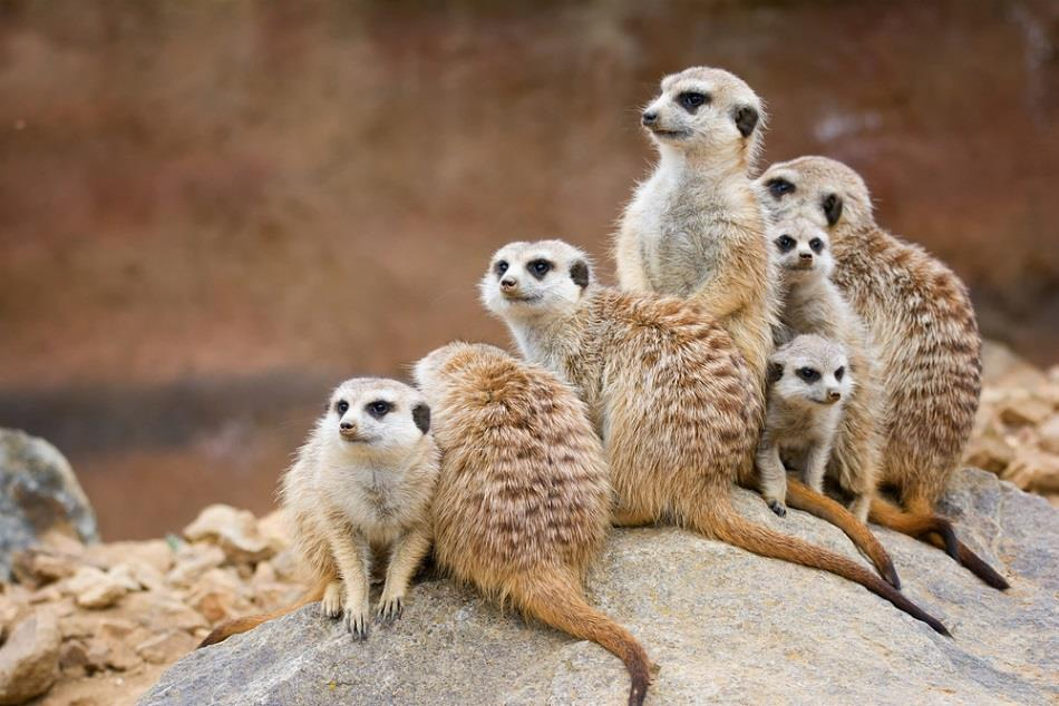 Group of meerkats who stick together like employees at a small company