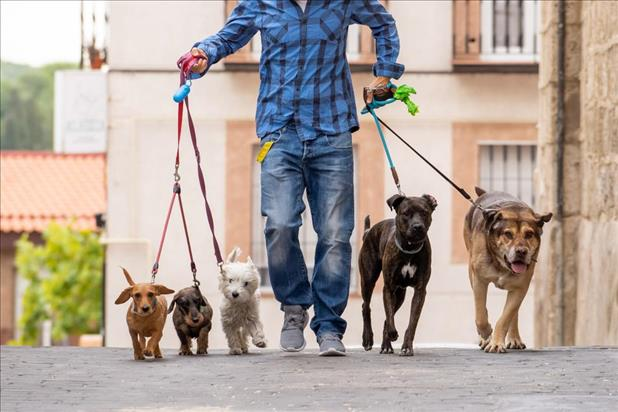Man walking dogs as part-time job
