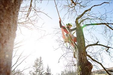 arborist working near the top of a tree