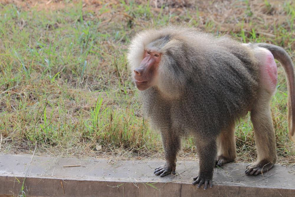 red baboon