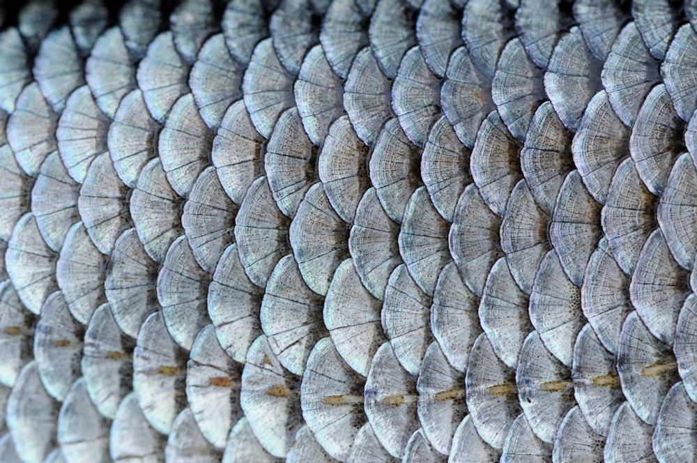 Close up of silvery fish scales.
